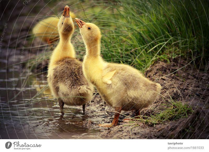 süße Gänschen trinken Wasser Leben Baby Natur Tier Gras Park Küste Teich See Vogel Zusammensein klein natürlich niedlich gelb Hausgans Gänse Gänsehaut durstig