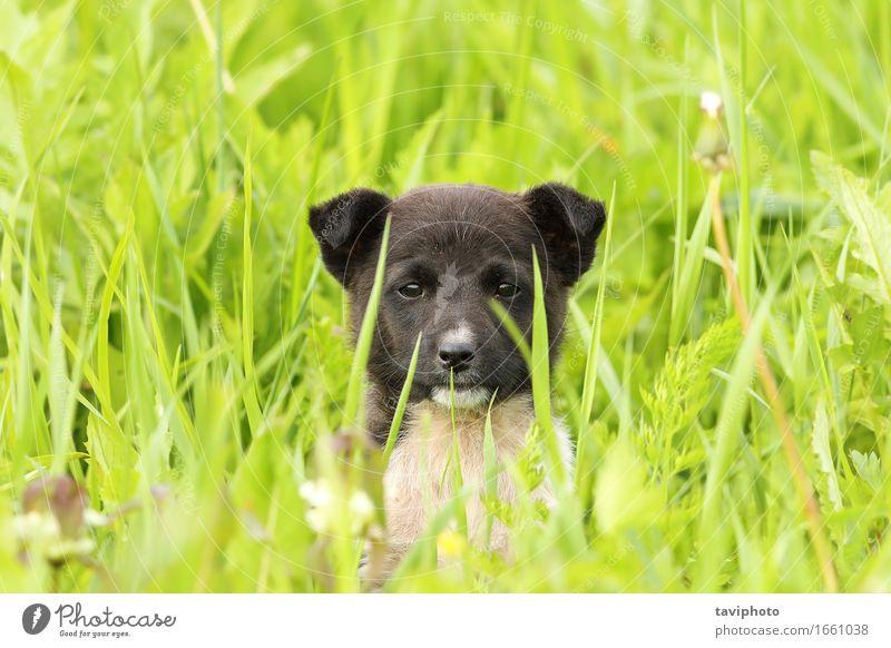 Gesicht eines schwarzen Hündchens Glück schön Sommer Baby Freundschaft Natur Tier Gras Park Wiese Pelzmantel Haustier Hund sitzen stehen klein lustig niedlich