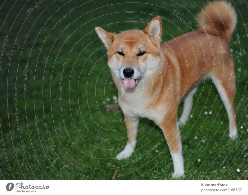 Wenn die Zunge aus dem Hund zeigt Farbfoto Außenaufnahme Detailaufnahme Tag Blitzlichtaufnahme Tierporträt Blick Blick in die Kamera Blick nach vorn Haustier