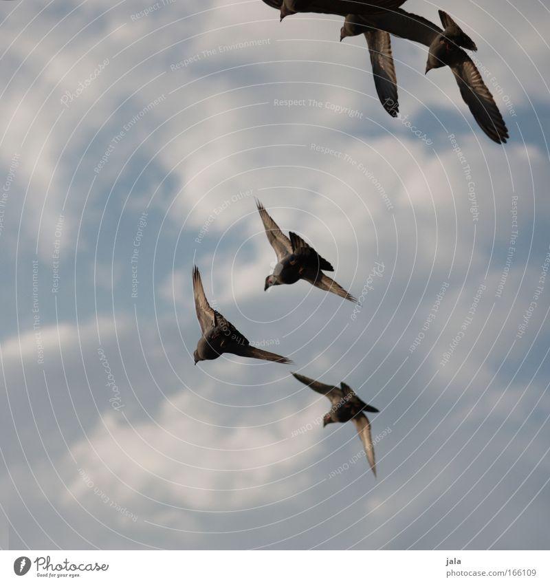 Melody of Doves Gedeckte Farben Außenaufnahme Dämmerung Tierporträt Himmel Vogel Taube Tiergruppe Schwarm fliegen frei Tag