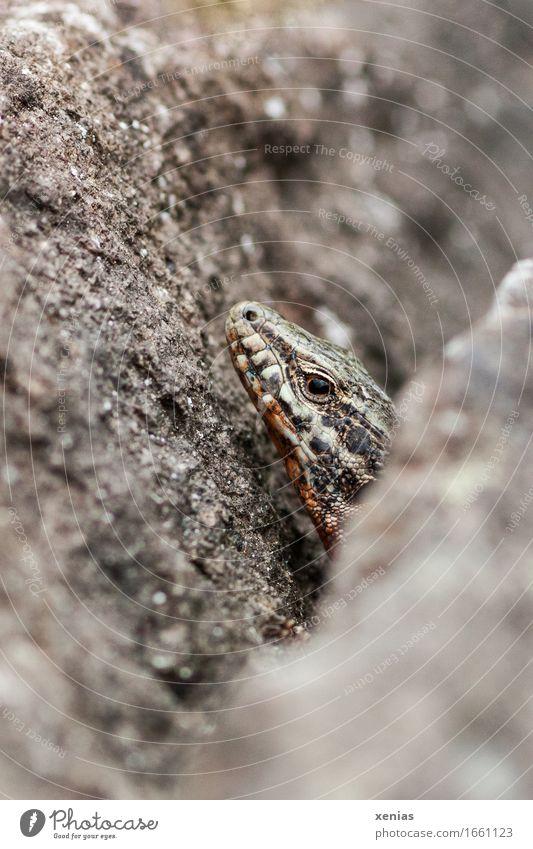 Mauereidechse zwischen Steinen weiß ruhig Tier schwarz Berge u. Gebirge grau braun Felsen beobachten Neugier Furche Reptil Gletscherspalte