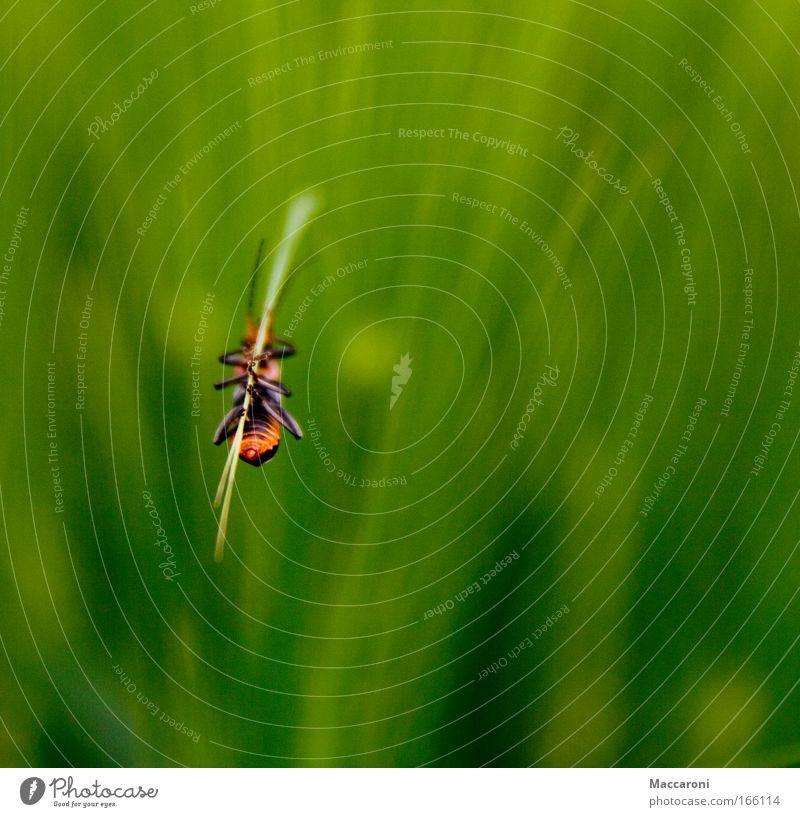 Käfer im Grünen Umwelt Natur Pflanze Gras Tier Wildtier 1 hängen Käferbein Grünpflanze grün Makroaufnahme Feld Wiese Farbfoto Außenaufnahme Nahaufnahme