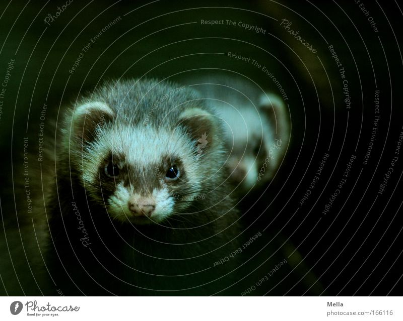 Das doppelte Frettchen Tier dunkel Marder Freundschaft Zusammensein Tiergesicht beobachten Fell Neugier Wildtier niedlich Wachsamkeit Interesse Einigkeit loyal