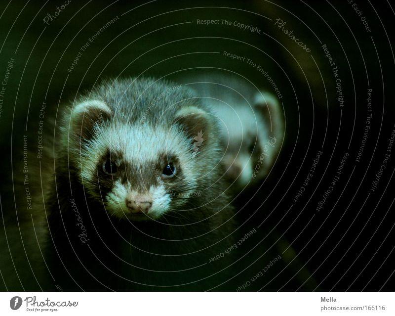 Das doppelte Frettchen Tier Wildtier Tiergesicht Fell Iltis 2 beobachten Blick dunkel Zusammensein Neugier niedlich Einigkeit loyal Freundschaft Wachsamkeit