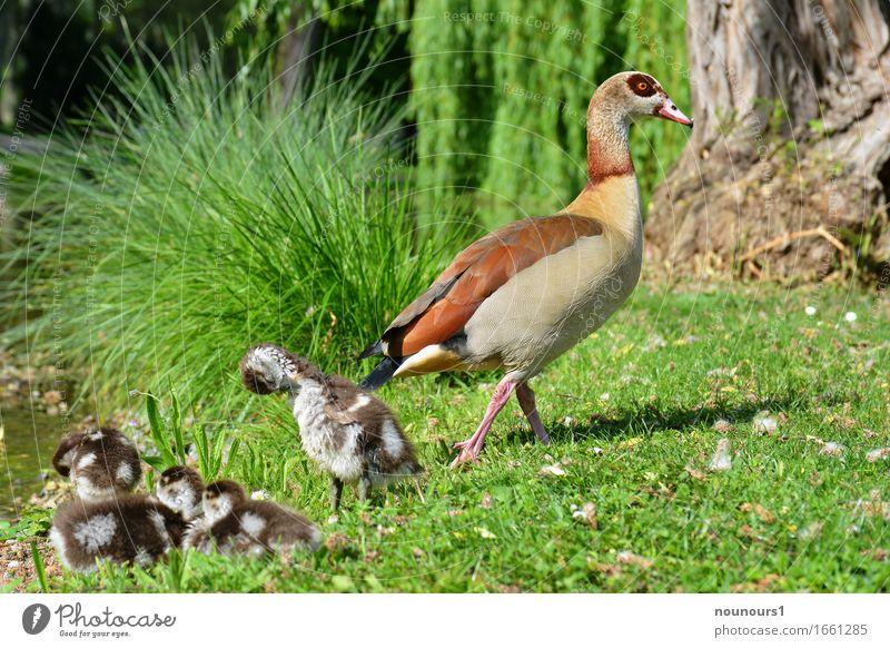 Mama wacht Tier Wildtier nilgans nilgänse nilgansküken Tiergruppe Tierjunges Tierfamilie Schwimmen & Baden berühren Bewegung gehen liegen Reinigen schlafen