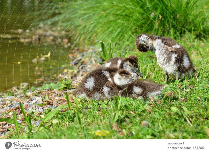 putzen und dösen Tier Wildtier nilgans nilgänse nilgansküken Tiergruppe Tierjunges genießen hocken liegen sitzen Glück kuschlig klein lustig natürlich niedlich