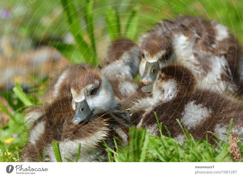 eng beisammen Tier Wildtier Nilgänse nilgans nilgansküken Tiergruppe Tierjunges berühren genießen hocken liegen sitzen Zusammensein Glück schön kuschlig