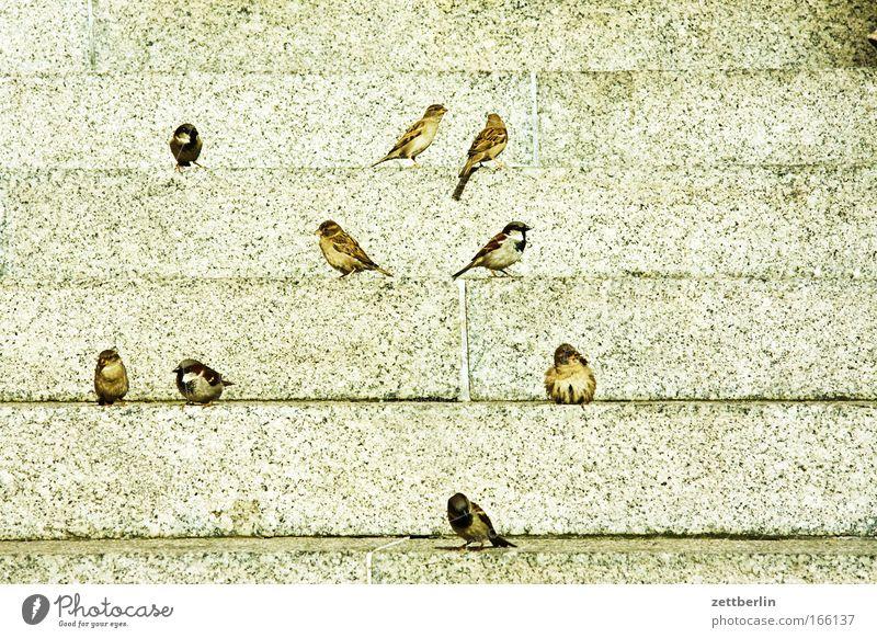 Passer domesticus Frühling Vogel Treppe sitzen warten Niveau Spatz Vogelschwarm Freitreppe Tier Nahrungssuche