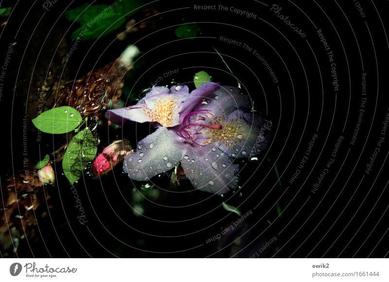 Ruhend Umwelt Natur Wasser Wassertropfen Pflanze Blume Blatt Blüte Blühend Schwimmen & Baden glänzend Glück nass natürlich mehrfarbig Gelassenheit ruhig Idylle