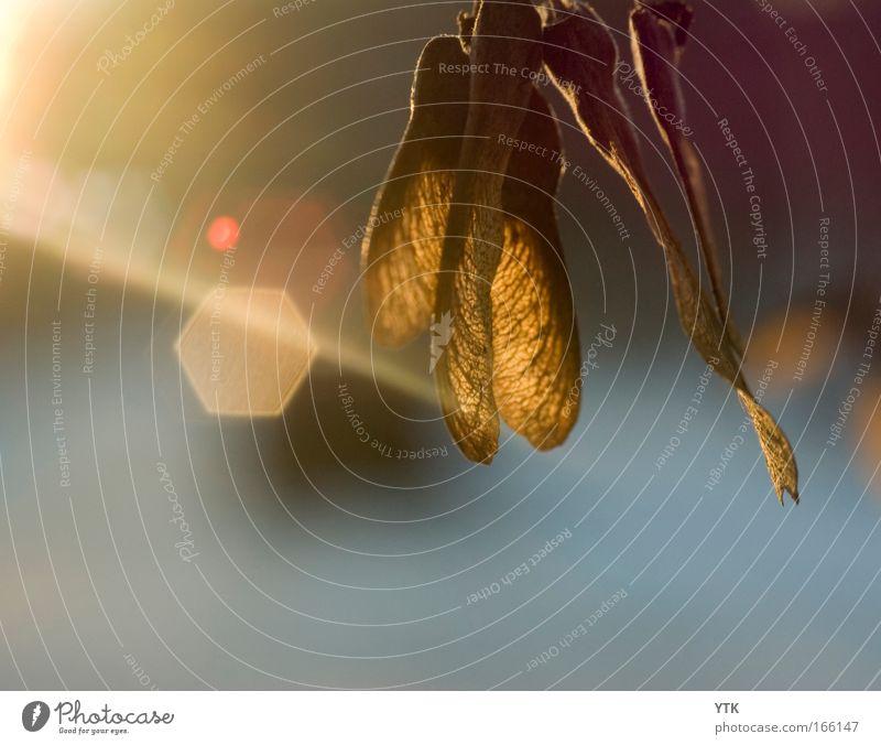 Auf die Nase damit! Umwelt Natur Tier Herbst Klima Schönes Wetter Pflanze Blatt Wärme gelb gold Stimmung Warmherzigkeit Vergänglichkeit Ahorn Ahornsamen