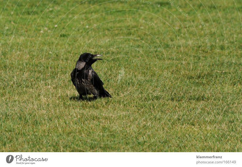 Rabe Farbfoto Außenaufnahme Tierporträt Wildtier Vogel schreien Aggression Begeisterung Euphorie Optimismus Erfolg Wut Ärger gereizt Feindseligkeit Frustration