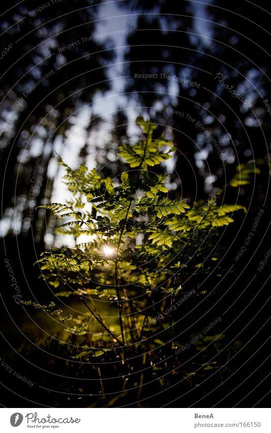 Farn Umwelt Natur Landschaft Pflanze Sonnenaufgang Sonnenuntergang Sonnenlicht Frühling Klima Sträucher Wildpflanze Echte Farne Wald Menschenleer nachhaltig