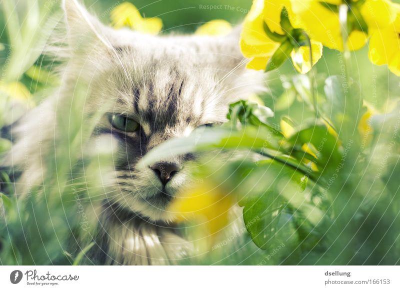 Katze versteckt in gelben Pflanzen - Blickkontakt Farbfoto Außenaufnahme Menschenleer Tag Sonnenlicht Schwache Tiefenschärfe Zentralperspektive Tierporträt