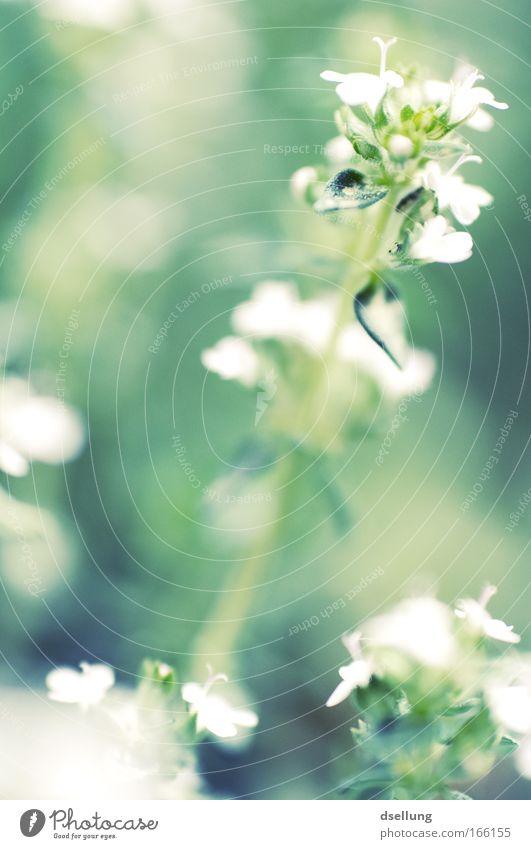 ohne Rosenrot... :-( Natur weiß Blume grün Pflanze Blüte Nutzpflanze
