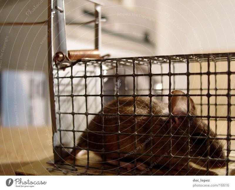 fallenmaus Mausefalle Schwanz gefangen Käfig braun niedlich Hinterhalt Detailaufnahme Ohr Fell kleines Pelzwesen