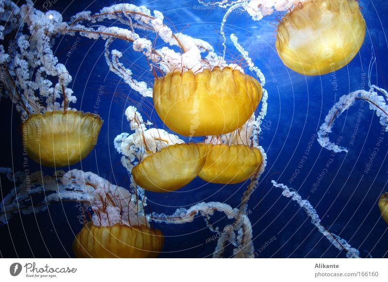 Medusa Wasser Meer blau gelb kalt Erholung träumen Zusammensein elegant ästhetisch Netz tauchen fantastisch geheimnisvoll Gelassenheit