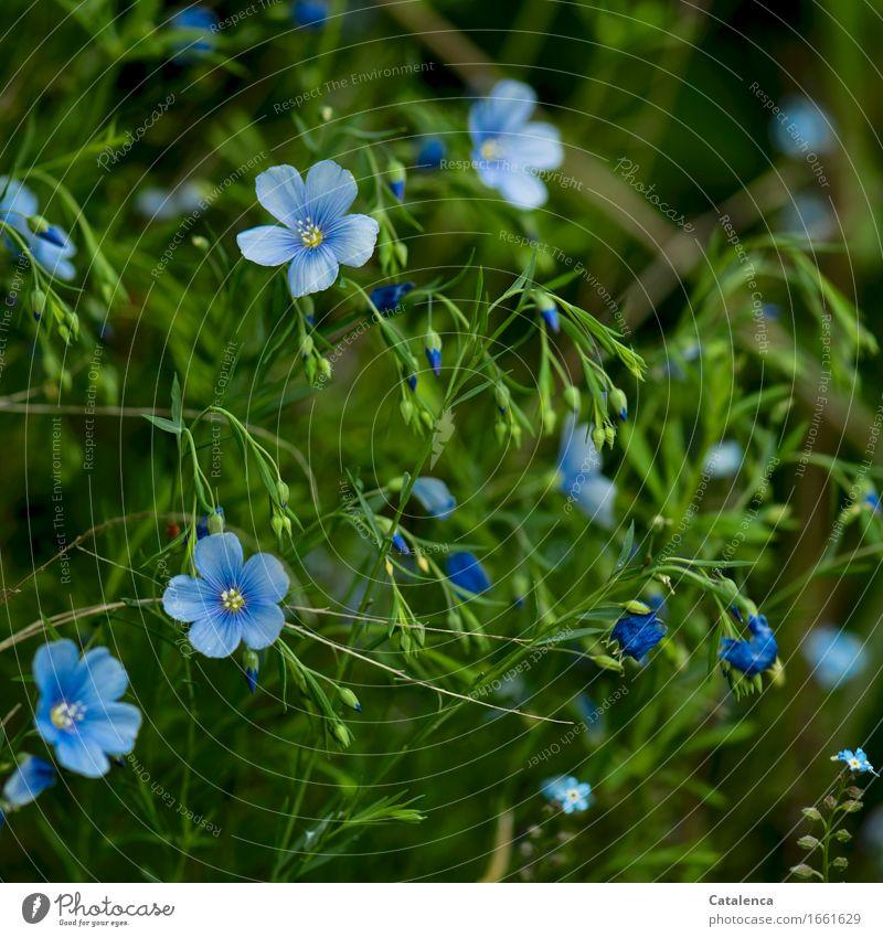 Leinenblüten Natur blau Pflanze Sommer grün Blume Blatt Blüte Gesundheit Wachstum Blühend Tradition nachhaltig Nutzpflanze verblüht dehydrieren