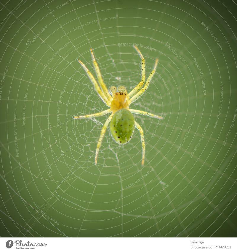 stilio Wildtier Spinne Tiergesicht 1 hängen Kürbisspinne Spinnennetz Spinnenbeine Farbfoto mehrfarbig Außenaufnahme Nahaufnahme Detailaufnahme Makroaufnahme