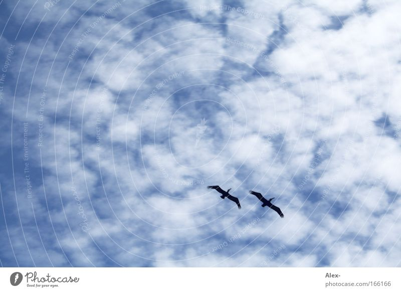 Wolkenkratzer Natur weiß blau Ferien & Urlaub & Reisen Liebe schwarz Tier Ferne Bewegung träumen Zusammensein Vogel Tierpaar fliegen hoch Ziel