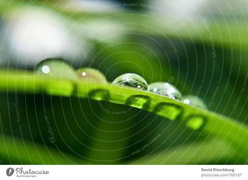 Perfect pearls Natur Pflanze Wasser Wassertropfen Frühling Sommer Herbst Wetter Regen Gras Grünpflanze Wildpflanze Flüssigkeit glänzend schön rund grün