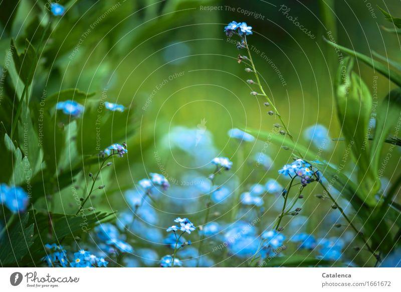 blau und grün Natur Pflanze Blume Blatt Blüte Wildpflanze Vergißmeinnicht Garten Blühend verblüht Wachstum ästhetisch Fröhlichkeit türkis Gefühle Liebe
