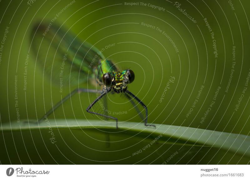 gebänderte Prachtlibelle (Calopteryx splendens) ♀ Natur grün Tier schwarz natürlich elegant Wildtier sitzen ästhetisch Armut beobachten Neugier türkis