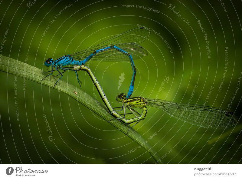 Paarungsrad der Azurjungfern Natur blau grün Tier Wildtier Idylle sitzen ästhetisch authentisch Flügel Frühlingsgefühle Libelle Tierliebe