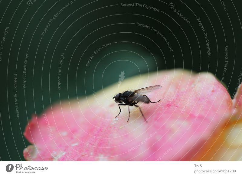 Fliege Natur Pflanze grün Sommer ruhig Tier schwarz Blüte Frühling natürlich rosa elegant ästhetisch authentisch laufen