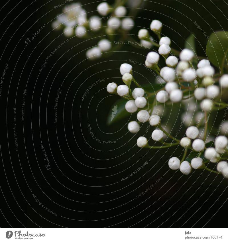 Budding Expectations Natur schön weiß grün Pflanze schwarz Blüte Park klein elegant ästhetisch Sträucher zart Duft Blütenknospen Grünpflanze