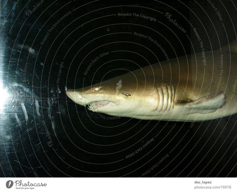hi fisch Wasser Meer dunkel Fisch gefährlich Gebiss bedrohlich Wildtier Jagd Dieb Haifisch Biest
