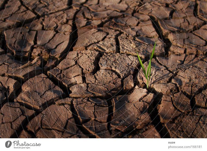 Einzelkämpfer Erfolg Umwelt Natur Landschaft Erde Klima Klimawandel Dürre Pflanze Gras Feld Wüste trocken braun Willensstärke standhaft Hoffnung Glaube