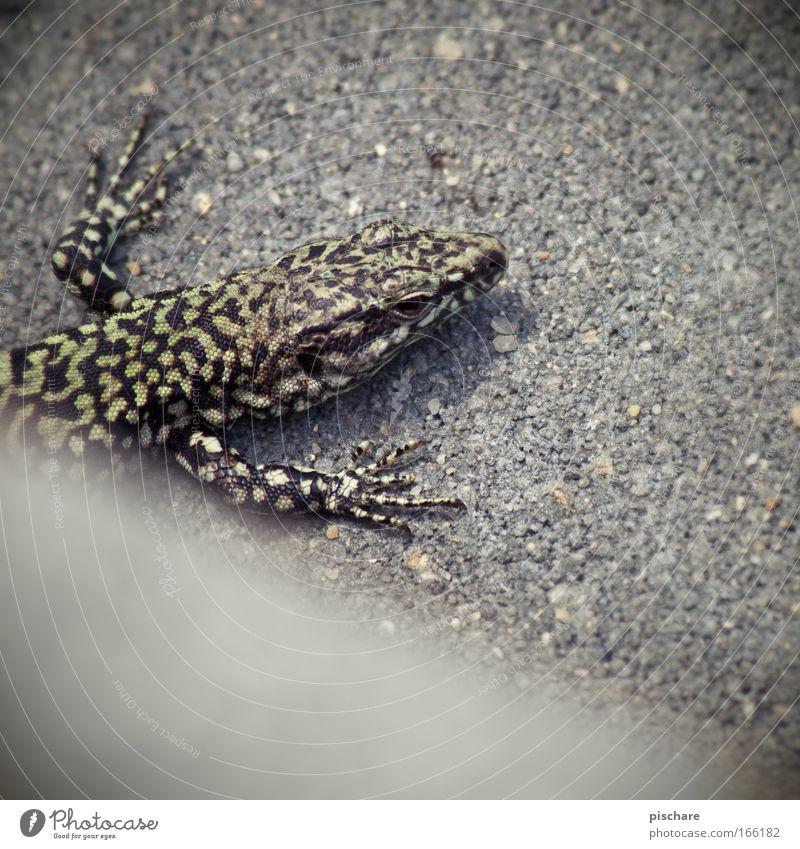 Godzillaaaaaaaaaaaaaa! Natur Tier Echte Eidechsen 1 beobachten hocken krabbeln Blick exotisch retro Gelassenheit pischare außergewöhnlich Farbfoto Außenaufnahme