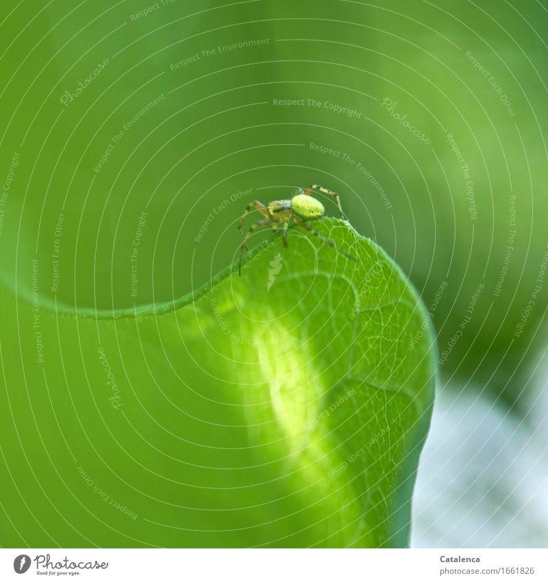 Auf Wanderung Natur Pflanze Tier Blatt Garten Wildtier Spinne Kürbisspinne 1 krabbeln elegant schön grün achtsam Leben vernünftig Kontrolle Umwelt Zukunft