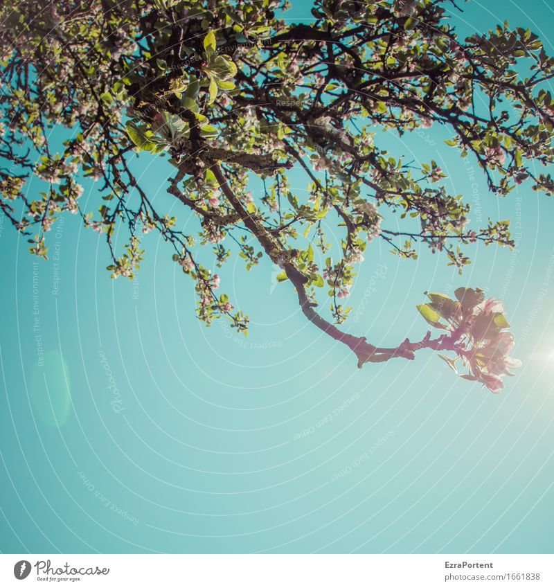 Streuobstwiese (drin liegend und nach oben blickend) Natur Pflanze Himmel Wolkenloser Himmel Sonne Frühling Klima Schönes Wetter Baum Blatt Blüte Garten