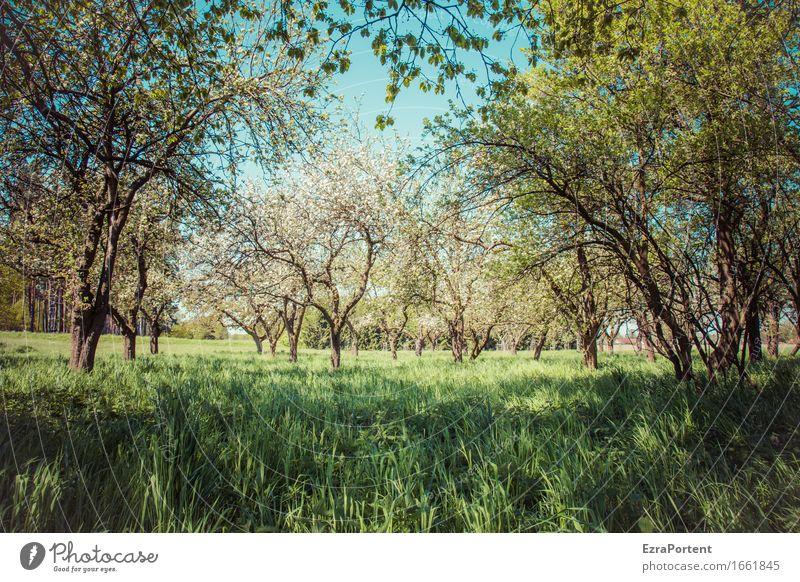 Streuobstwiese (Schatten) Umwelt Natur Pflanze Himmel Frühling Sommer Klima Schönes Wetter Baum Gras Blatt Blüte Grünpflanze Nutzpflanze Wildpflanze Garten