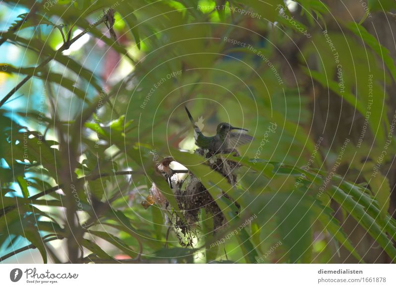 Grünschnabel blau grün Tier klein Vogel sitzen ästhetisch warten Warmherzigkeit Neugier entdecken exotisch Schüchternheit Brutpflege