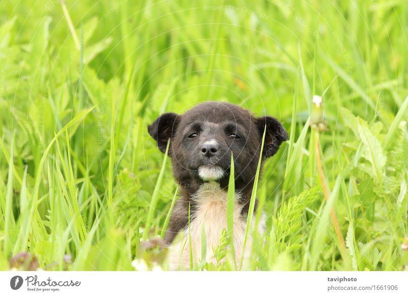 süßer Welpe im großen Gras Glück schön Erholung Sommer Garten Baby Freundschaft Natur Tier Wiese Pelzmantel Haustier Hund sitzen stehen klein lustig niedlich