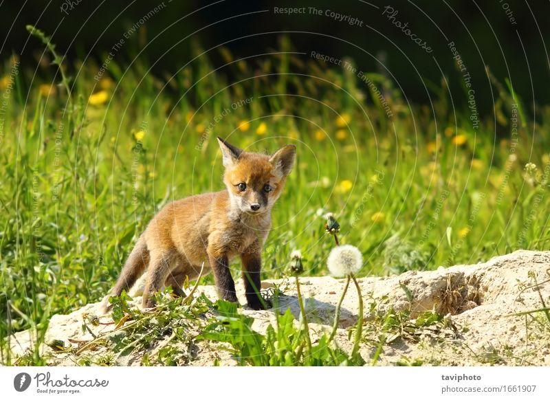 Nettes Rotfuchsjunges, das Kamera betrachtet Hund Natur schön rot Tier Wald Tierjunges Gras klein wild stehen Baby niedlich Lebewesen Fotokamera Jagd