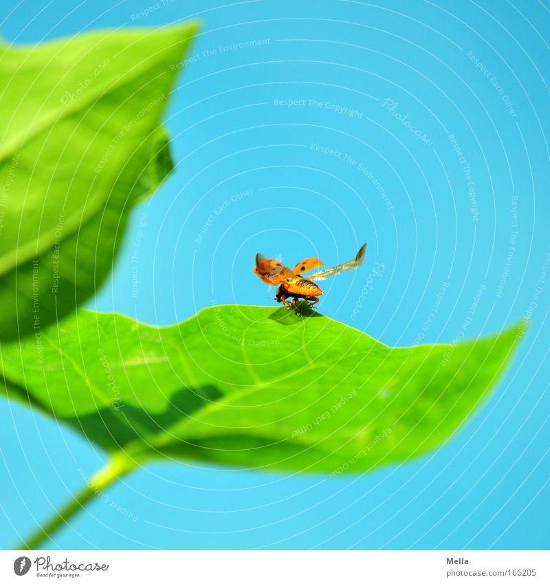 Starterlaubnis erteilt Natur Pflanze Tier Wolkenloser Himmel Frühling Sommer Blatt Grünpflanze Wildtier Käfer Flügel Marienkäfer 1 Glücksbringer fliegen frei
