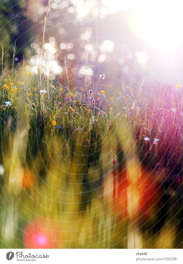 Sommerwiese Farbfoto mehrfarbig Außenaufnahme Menschenleer Textfreiraum oben Textfreiraum unten Abend Dämmerung Lichterscheinung Sonnenlicht Sonnenstrahlen