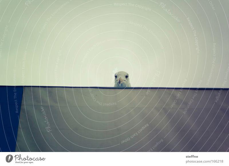 kuckuck Farbfoto Außenaufnahme Textfreiraum oben Textfreiraum unten Tierporträt Vogel Möwe 1 entdecken Blick Neugier niedlich Gedeckte Farben