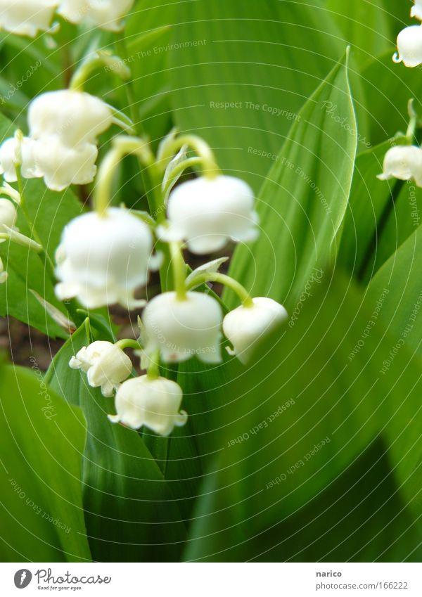 MAIglöckchen Farbfoto Außenaufnahme Nahaufnahme Makroaufnahme Tag Unschärfe Schwache Tiefenschärfe Zentralperspektive Natur Pflanze Erde Frühling Schönes Wetter