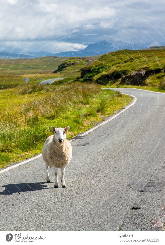 Einzelnes Schaft steht auf Straße in Schottland Wege & Pfade Reisefotografie Landwirtschaft Vieh Nutztier Wolle Tier Landschaft Natur Großbritannien Störung