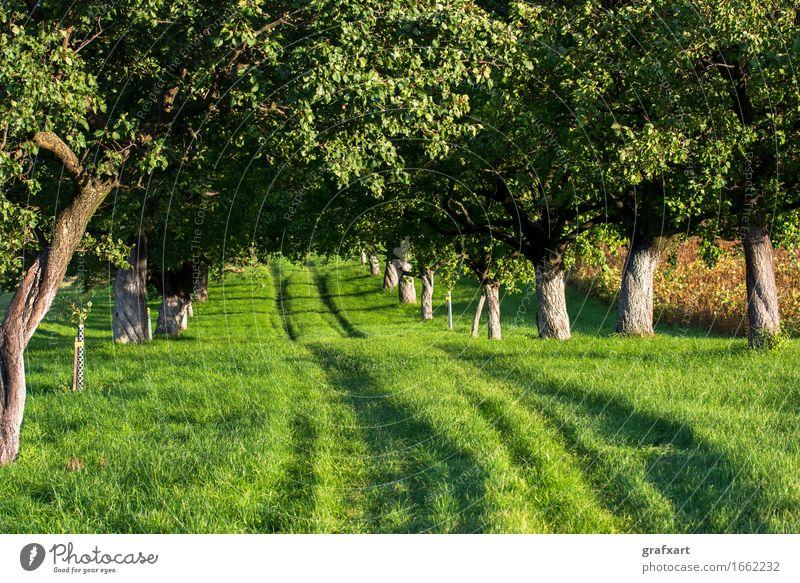 Grasbewachsener Weg durch sonnige Allee Straße Wege & Pfade Richtung Baum Natur Umwelt Landschaft Österreich Beginn Karriere vorwärts ländlich Spuren