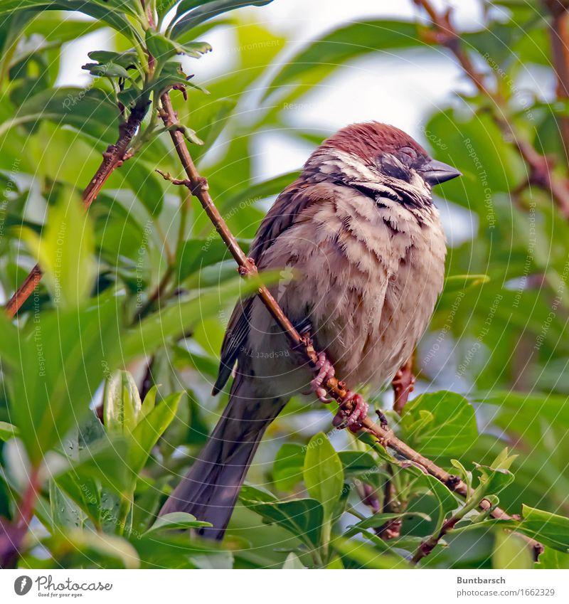 Tagträumer Natur Tier Pflanze Sträucher Grünpflanze Garten Wildtier Vogel Tiergesicht Spatz Sperlingsvögel Feldsperling Singvögel 1 Tierjunges Erholung schlafen