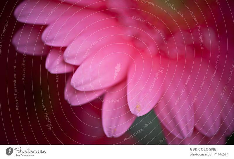 Gerbera Natur Blume Pflanze Sommer Blüte Frühling Frühlingsgefühle