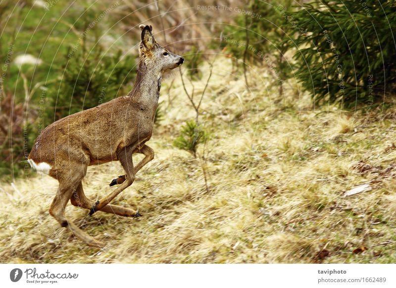 Rehe laufen schön Leben Spielen Jagd Natur Tier Gras Wald Pelzmantel rennen springen frei natürlich wild braun grün Rogen Hirsche Kapreolus Bock jung Wade