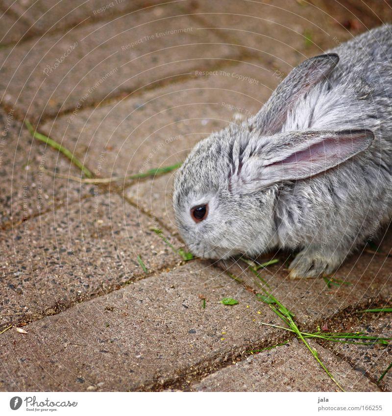 Mr. Rabbit Tier grau Fell Zoo Hase & Kaninchen Pfote Osterhase Streichelzoo