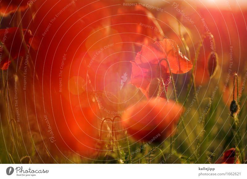 ja-mai Umwelt Natur Landschaft Pflanze Tier Gras Blatt Wiese Feld natürlich Mohn Mohnblüte Mohnfeld Mohnkapsel Mohnblatt rot Mai Sommer Wärme schön Farbfoto