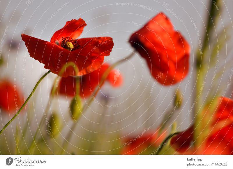 HKS-13 K Umwelt Natur Pflanze Tier Blume Wildpflanze Wiese Feld Blühend Mohn Mohnblüte Mohnfeld rot Sommer Mai Farbfoto Außenaufnahme Detailaufnahme Licht